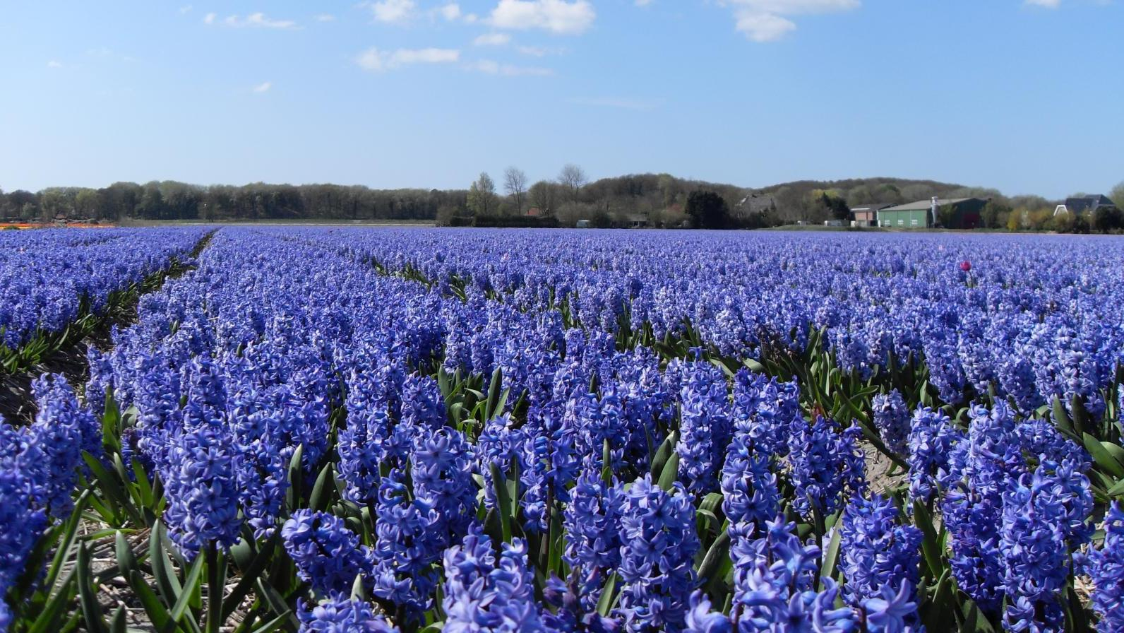 Beautiful hyacinths in the spring